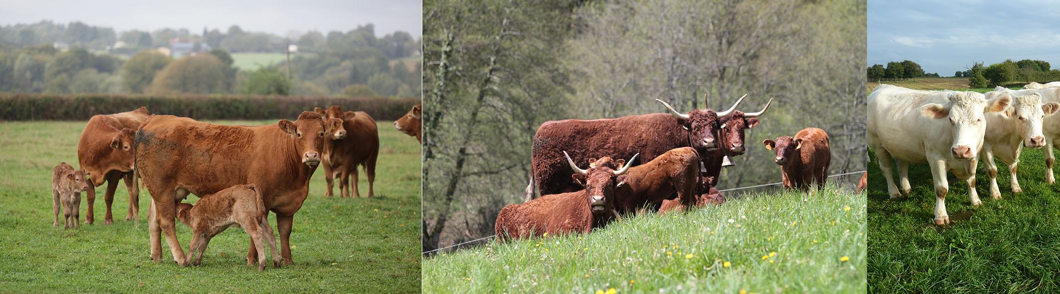Vaches races Salers, Limousine et Charolaise