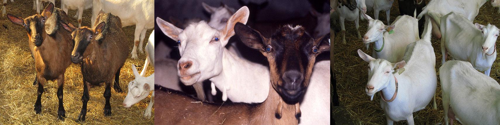 Chèvres blanches et marrons