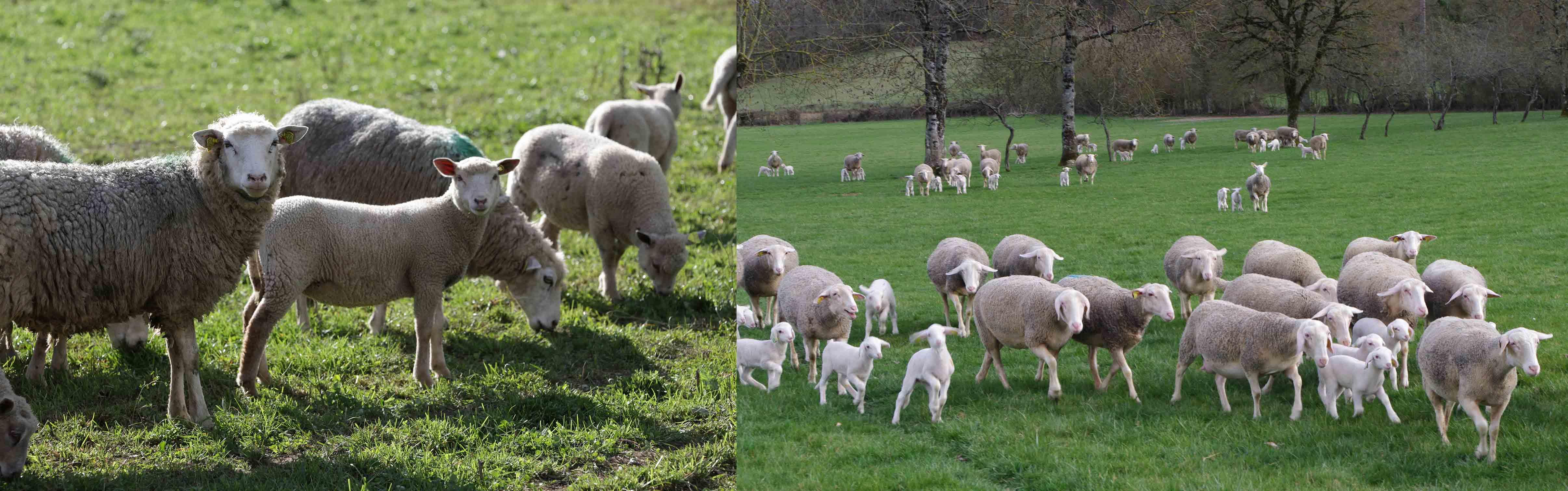 Moutons, Brebis et agneau dans prairie