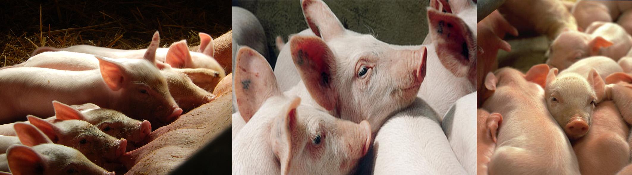 Porc, Porcelets