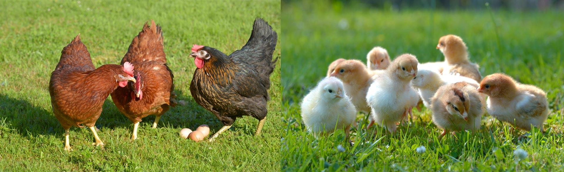 Poules et poussins en pleine nature