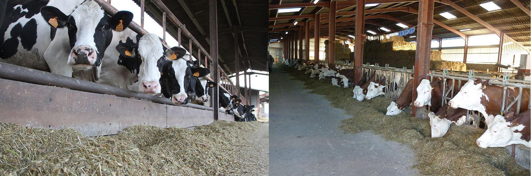 Vaches Laitières Prim'holstein et Montbéliarde au Cornadis